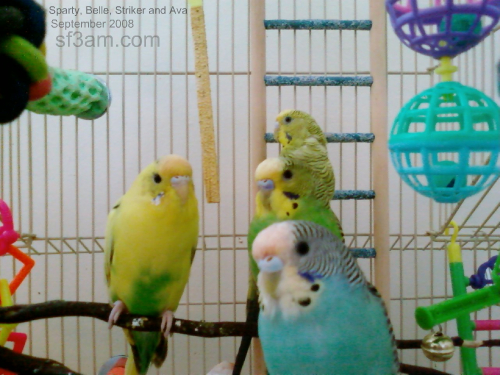 Sparty, Striker, Ava and Belle the parakeets